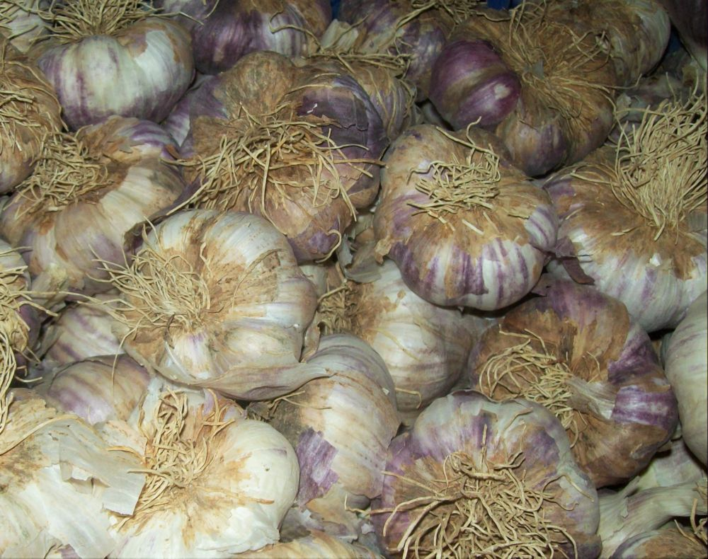 garlic classified